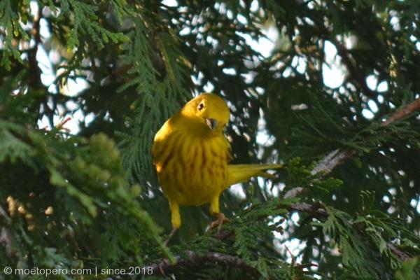 moetopero.com-goldbird-motreal